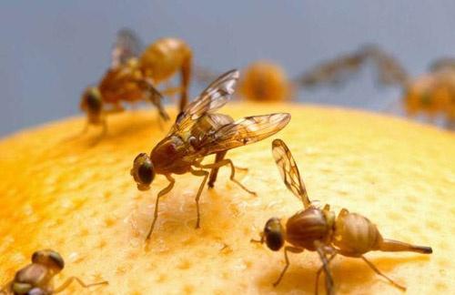 Resultado de imagen para mosca de la fruta